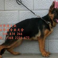 家养一窝纯种德国牧羊犬出售弓背公母都有可挑选图片