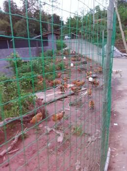 云阳土鸡市场土鸡养殖云阳土鸡信息