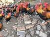 宝鸡红羽土鸡苗宝鸡绿壳蛋鸡苗批发宝鸡土鸡苗价格自生源红羽鸡苗