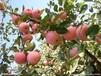 山东日照金世纪苹果大量上市