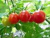 山东日照果粉西红柿大量上市
