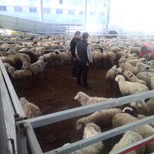 优质内蒙育肥羊肉羊火爆进入徐州市场