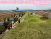 青贮玉米种子