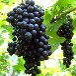 大量供应优质紫秋葡萄无籽夏黑葡萄无核黑提子