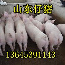 山东猪场常年供应优良三元仔猪图片
