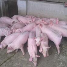 山东仔猪常年供应仔猪批发价格