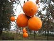 柿子苗在临沂哪里可以买到-山东临沂世源苗木繁育中心