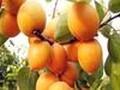 杏树苗、临沂杏树苗价格、今奥林杏树苗批发价格图片