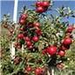 临沂矮化苹果苗、短枝苹果苗、m9t337自根砧专卖