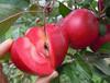 红心苹果苗_红色之爱苹果树苗_红肉苹果价格