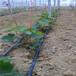 茶园滴灌丨微喷灌茶树微喷带丨水肥一体化厂家