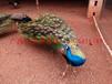 大量供应蓝孔雀种苗