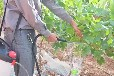 葡萄膨大剂膨果拉穗器视频