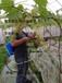 四川葡萄膨果器獼猴桃開放式浸果器環形噴頭電動回流泵視頻