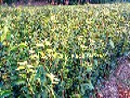 大果红花油茶嫁接苗2年苗,大果红花油茶嫁接苗高度70-100公分图片