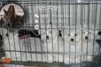 马尔济斯犬价格纯种马尔济斯犬多少钱一只全国报价