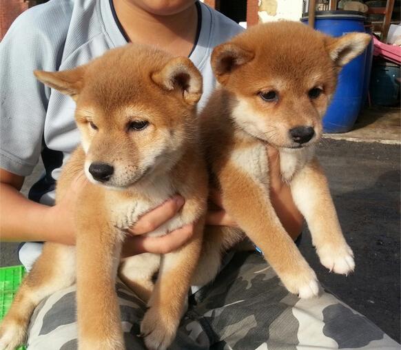 【柴犬价格】纯种柴犬多少钱一只(全国报价)   微信号15262626249
