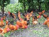 海南白沙土鸡场家低价直销海南永基畜牧批发供应