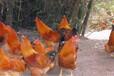 海南定安富硒土鸡场家低价批发海南永基畜牧供应
