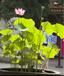 荷美轩丨盆栽荷花厂家丨风雅美丽就选它