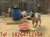出售:肉狗、狼青犬、牧羊犬、马犬、灵提犬、格力犬、惠比特犬、杜高犬、金毛犬等各种名犬