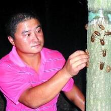金蟬養殖知了猴人工養殖山東金蟬養殖圖片