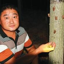 人工金蝉养殖金蝉养殖基地优势图片