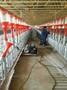 河北福临养猪自动化料线猪用自动化喂料系统自动化养猪设备厂家直销图片
