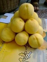 炎陵黄桃价格图片