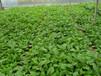 草莓苗蔬菜苗大量供应