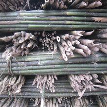 园林竹竿园林支撑标准用的竹竿京西竹业出品