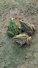 供青蛙图片