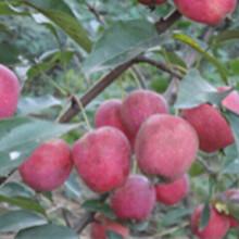 佳木斯出售占地苗、鹤岗枸杞苗、双鸭山果树苗、鸡西李子苗
