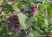 出售夏黑葡萄苗、松原出售葡萄苗、白山蜜汁葡萄苗