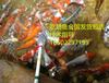 吃奶鱼喂奶鱼锦鲤鱼池循环系统