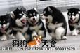 肇庆四会有没有狗场,纯种阿拉斯加犬多少钱一只