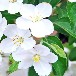 出售金色丰收海棠盆栽苗圃各类海棠花园林植物蔷薇科