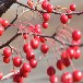 长期供应红宝石海棠种植苗圃蔷薇类植物各种海棠电话议价