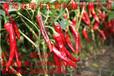 剪圈辣椒种子供应厂家