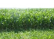 优质进口墨西哥玉米草种子批发