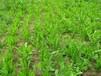 多年生牧草串叶?#19978;?#33609;种子