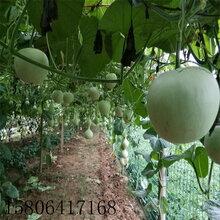 蘋果葫蘆種子觀賞葫蘆種子之開運吉祥物圖片