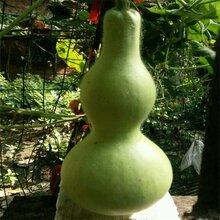 大酒葫蘆種子觀賞葫蘆新品種圖片