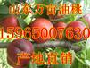 山东油桃批发市场