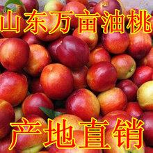 山东油桃批发,莒县油桃市场价格图片