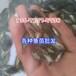 供应梅州生鱼鱼苗,白鲳鱼苗,七星鱼苗批发价格
