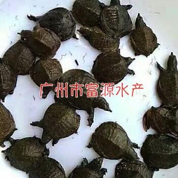广东水鱼苗ag系列产品 官方基地,甲鱼苗批发价格中华鳖苗批发价格