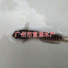 湖北恩施七星魚苗,黑龍江大慶月鱧魚苗批發價格圖片