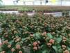 洛阳最大花卉生产基地