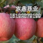 今日红富士苹果最新价格、红富士苹果公司图片